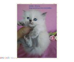 Персийско, женско Colourpoint Котенце от Лицензиран развъдник