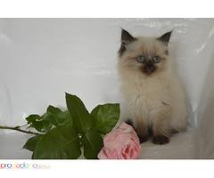Продавам послушно и мило котенце порода Регдол.