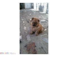 продавам живи плюшени играчки - кученца чау-чау