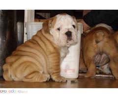Гърненце Обучени английски булдог кученца