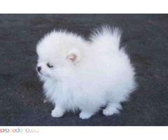 Красиви померанови кученца