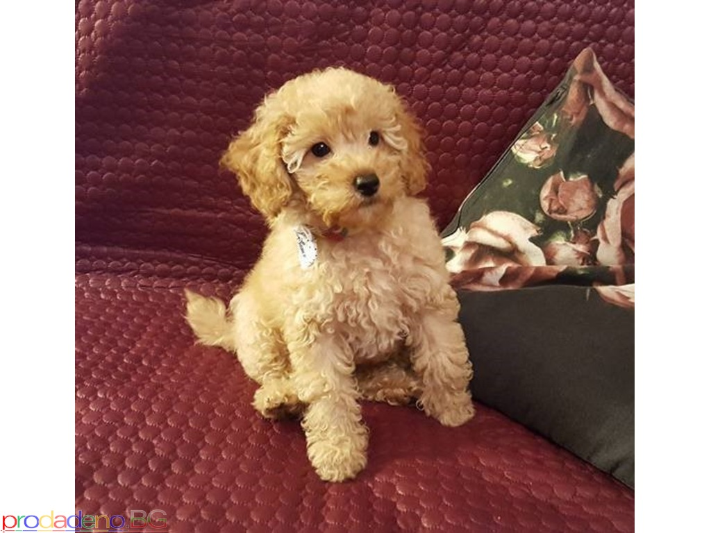Toy Poodle puppies - 1/2