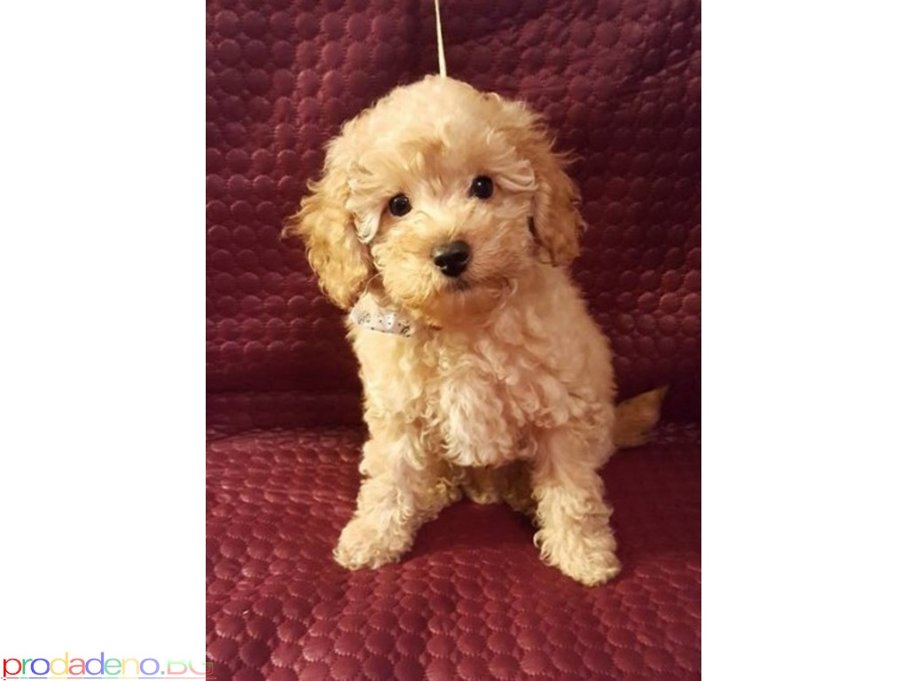 Toy Poodle puppies - 2/2