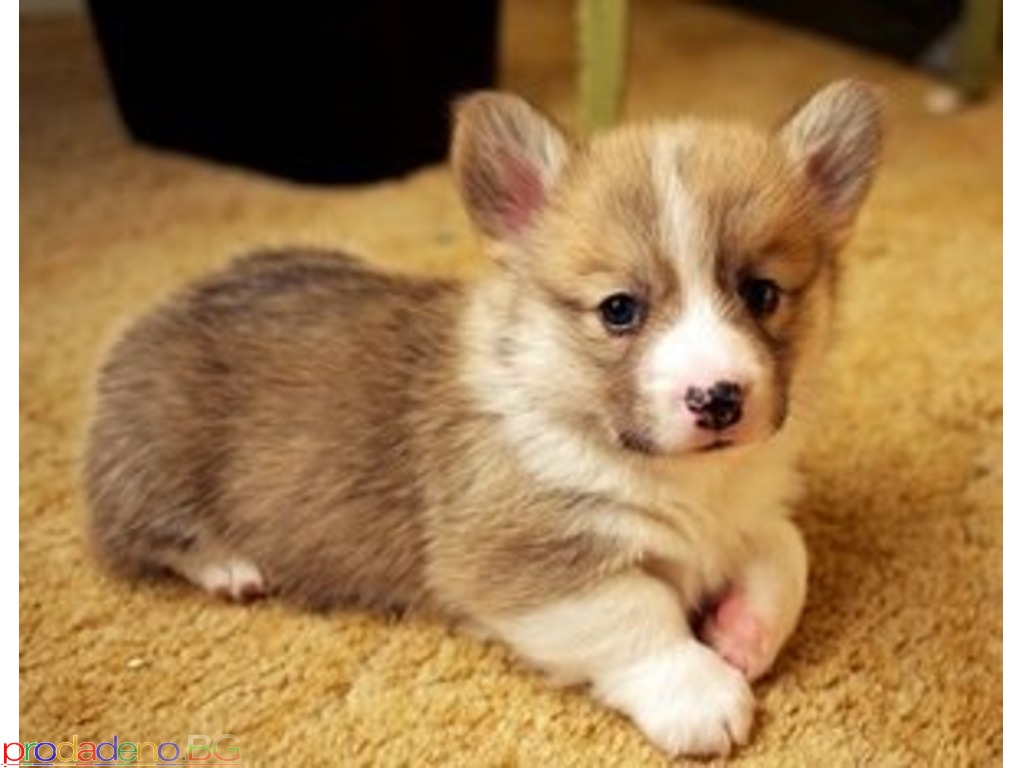 Welsh Corgi Puppies Available - 1/2