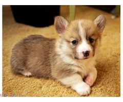 Welsh Corgi Puppies Available