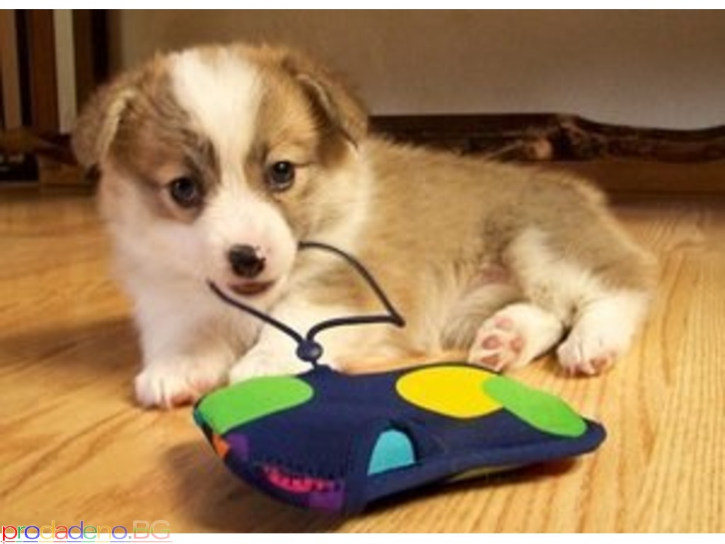Welsh Corgi Puppies Available - 2/2