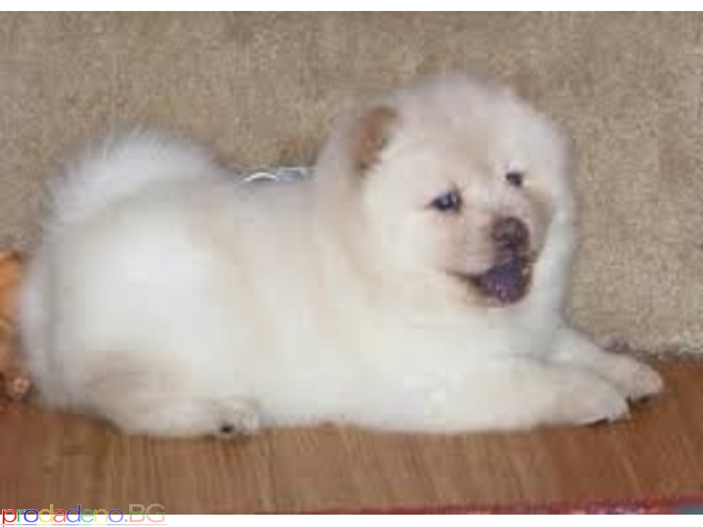 Kc Registered Chow Chow Puppies - 2/2