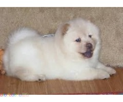 Kc Registered Chow Chow Puppies