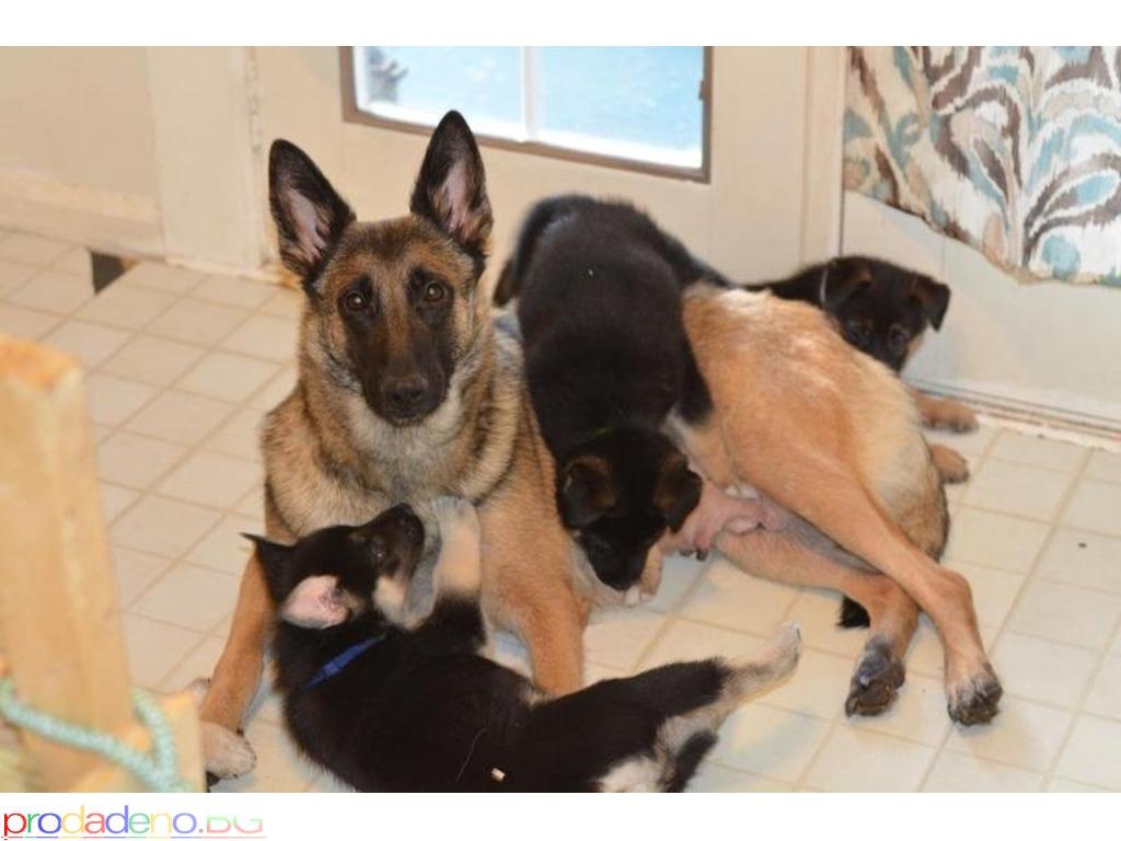 German Shepherd puppies - 1/2