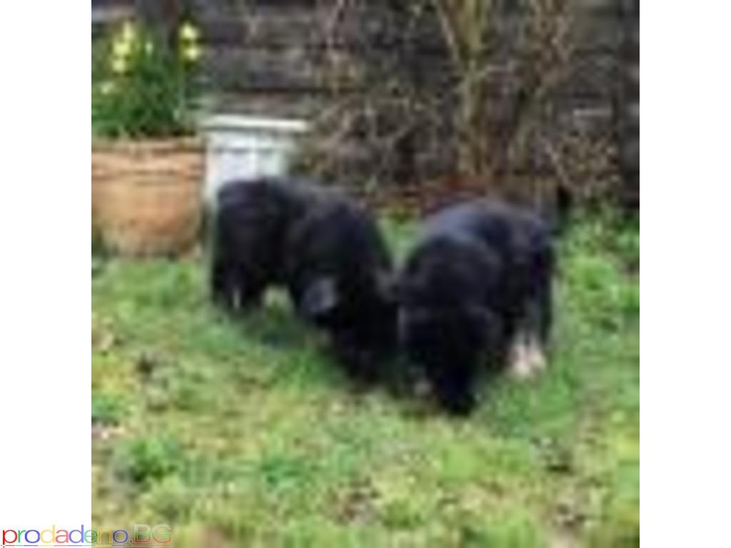 German Shepherd puppies - 2/2