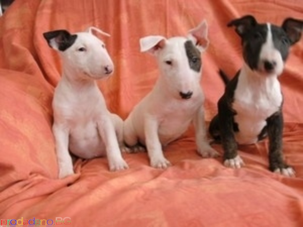 English Bull Terrier PureBred - 1/1