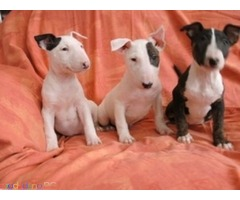 English Bull Terrier PureBred
