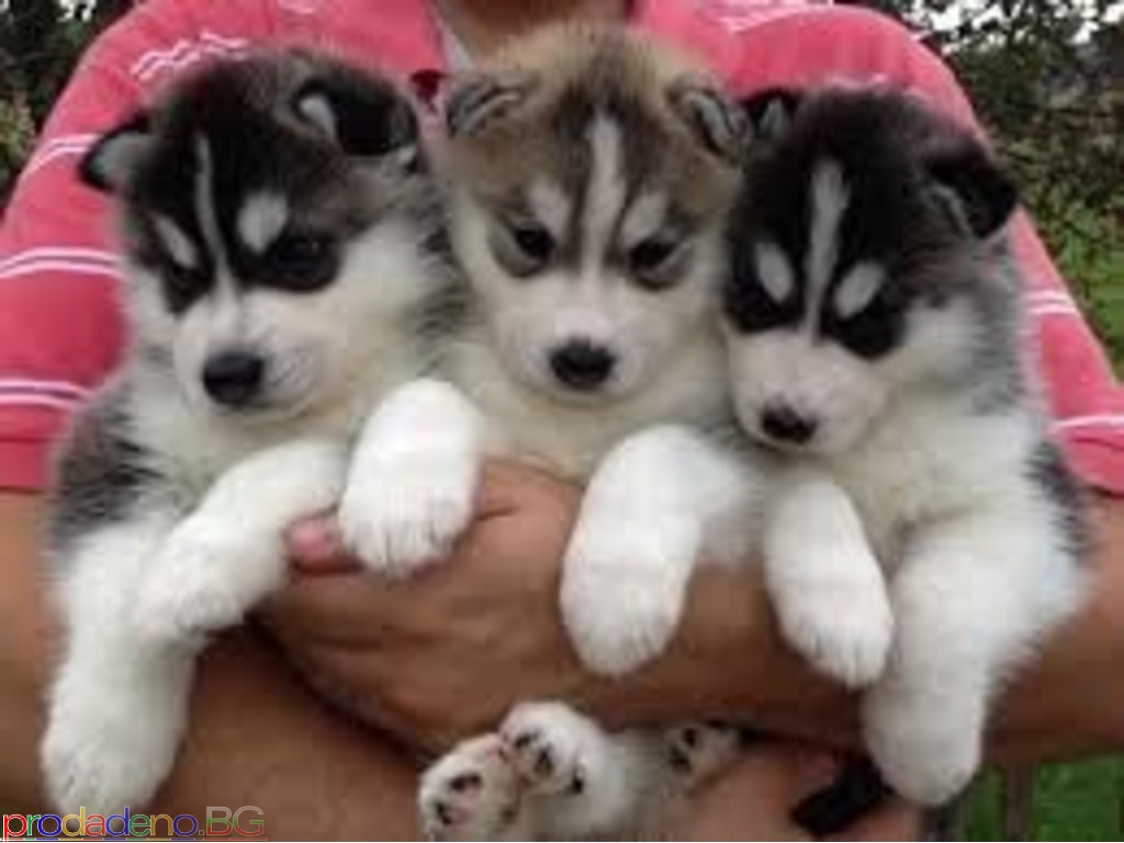 Siberian Husky puppies - 1/1