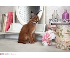 Stunning Pedigree Caracal kitten