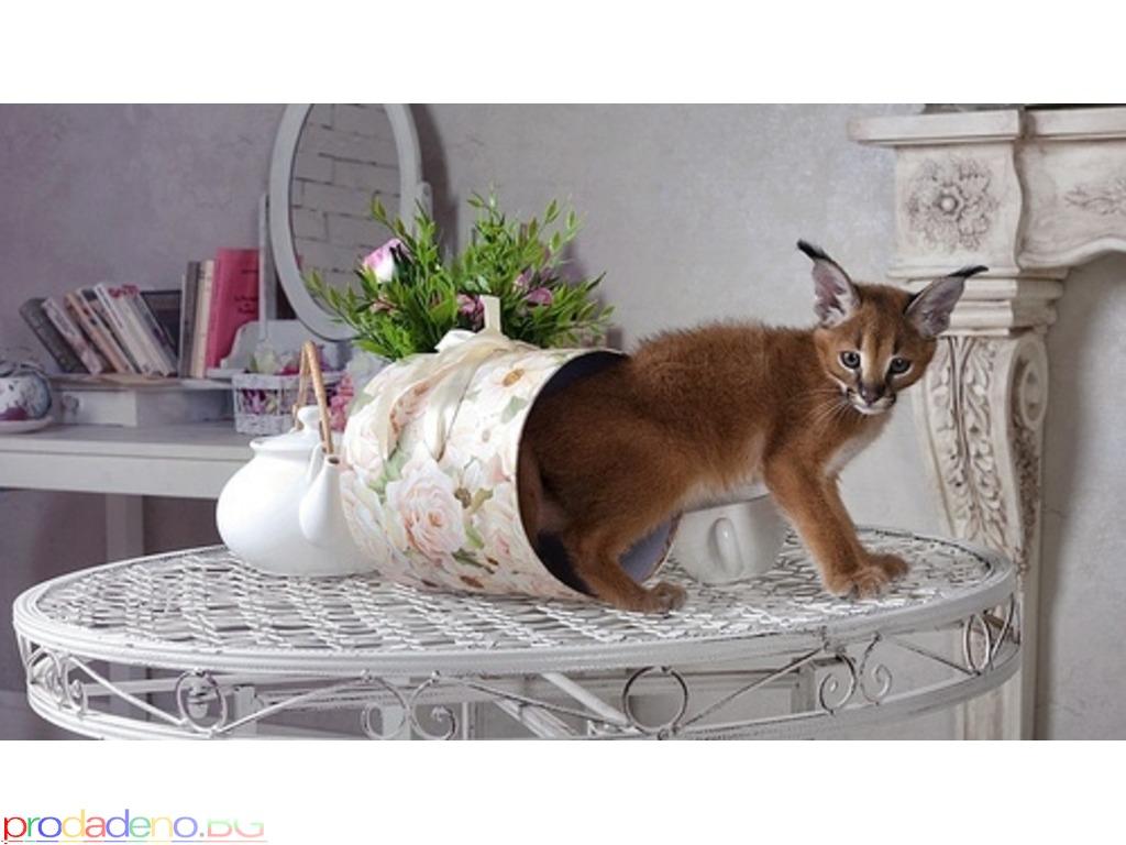 Stunning Pedigree Caracal kitten - 3/3