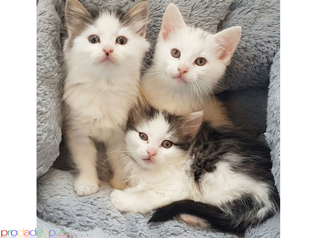 Ragdoll kittens for sale - 2/3