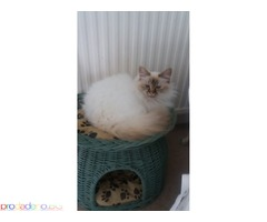 Birmans kittens available.