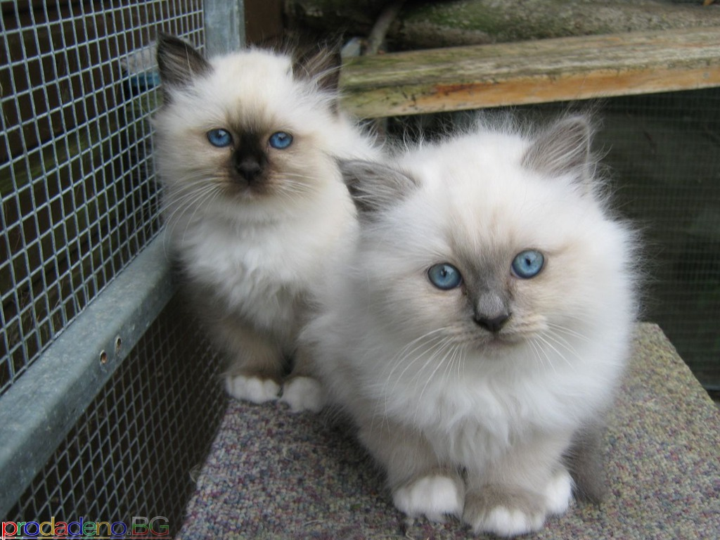 Birmans kittens available. - 2/3