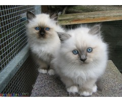 Birmans kittens available. - Изображение 2/3