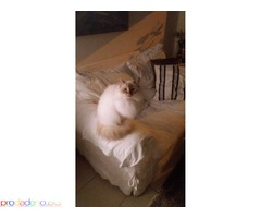 Birmans kittens available. - Изображение 3/3