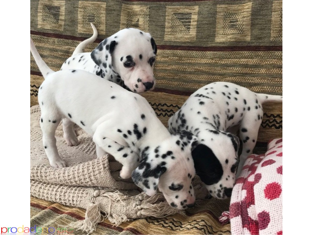 Dalmatinski štenci за продажба - 1/1