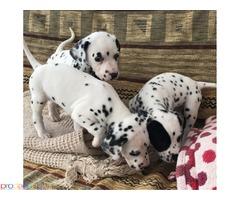 Dalmatinski štenci за продажба