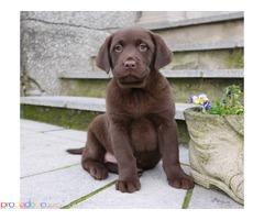 шоколадови лабрадорски кученца