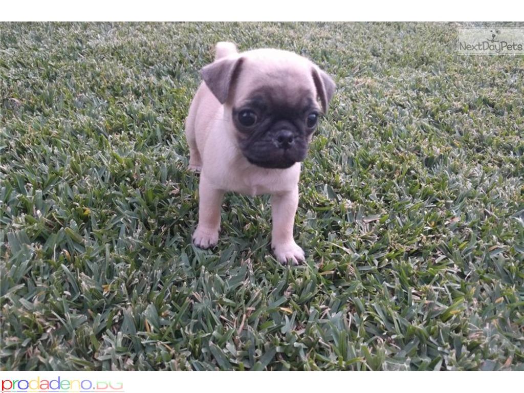 Pug Puppies Красиво регистриран родословие - 1/1