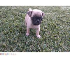 Pug Puppies Красиво регистриран родословие
