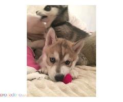 Зашеметяващи кученца сибирски хъски