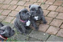 Кученца от френски булдог