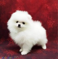 Качествени померански кученца