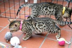 Бенгалските котета са на разположение за резервация - Изображение 1/2
