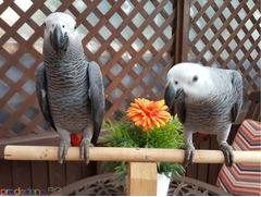 Сладки африкански папагали